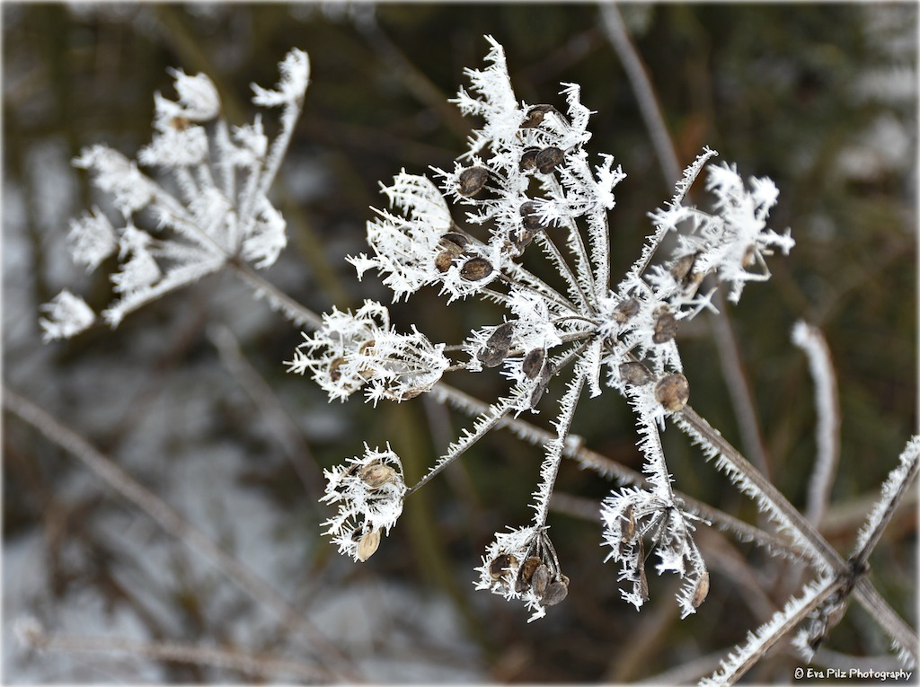 Winterblume.jpg