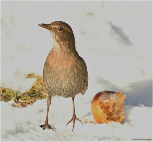 Amsel mit Apfel im Schnee.jpg