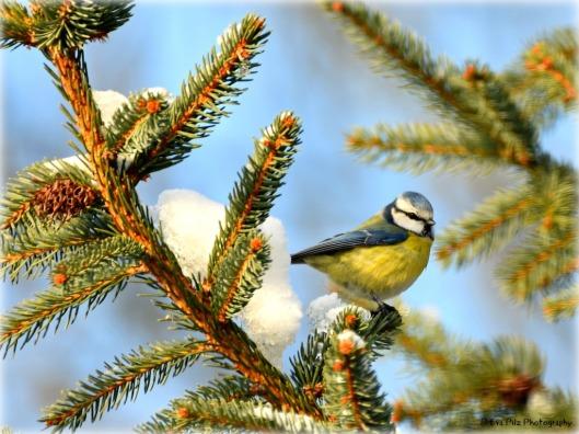 Blaumeise auf Tannenbaum.jpg