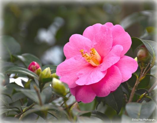 kamelie-rosa