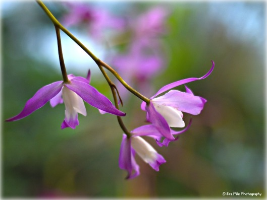 Orchidee botan. GArten.jpg