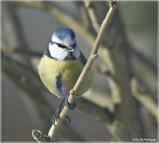 Blaumeise Frühling.jpg