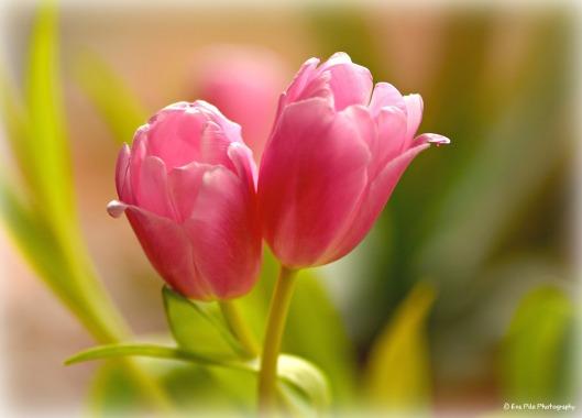 2-rosa-tulpen