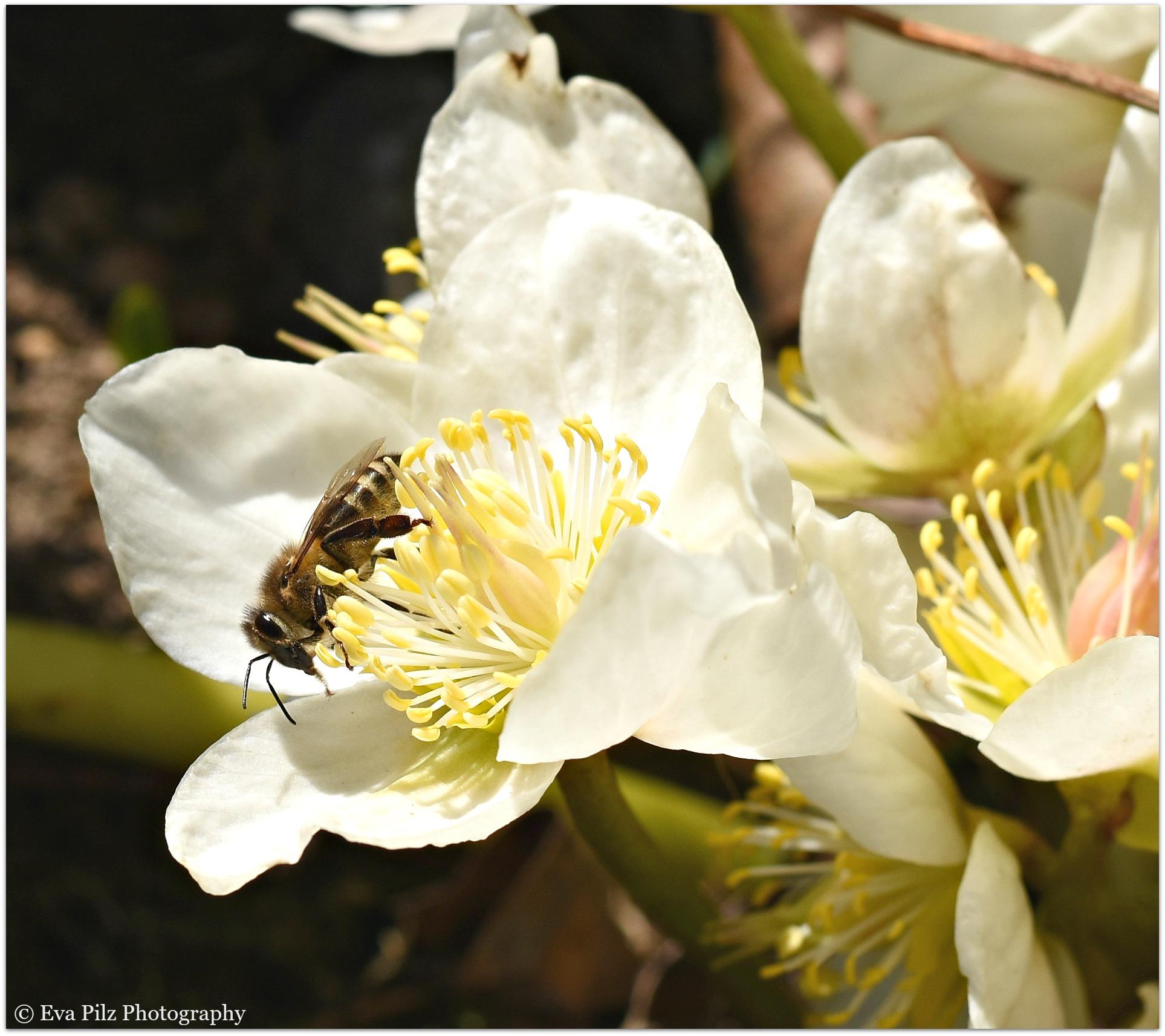 Biene auf Schneerose.jpg