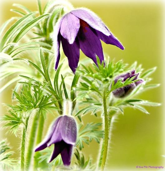 Küchenschelle lila