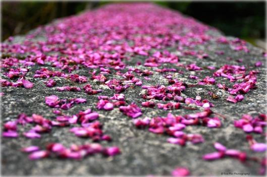 abgefallene Blüten Judasbaum.jpg