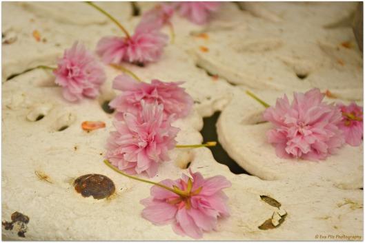 Blüten Zierkirsche