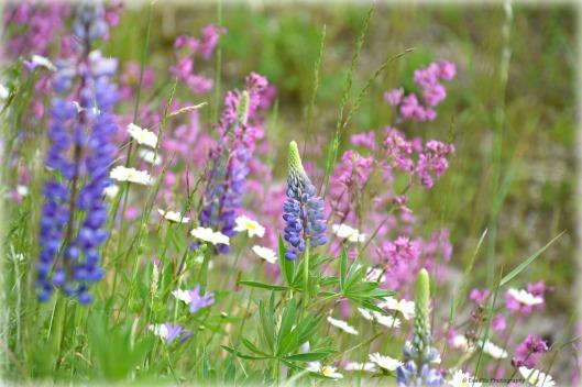 Blumenwiese mit Lupine.jpg