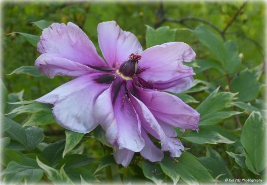 Pfingstrose lila1.jpg