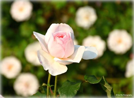 Rosenzeit - Juni.jpg