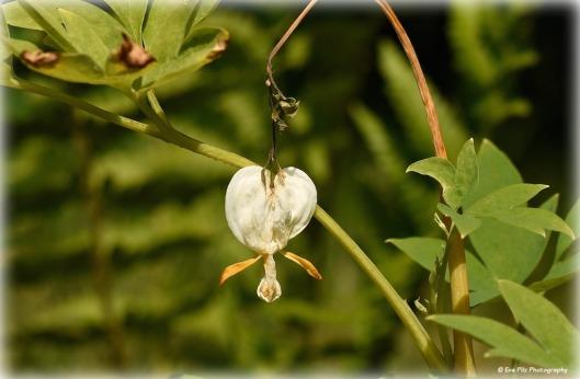 tränendes Herz in weiß1