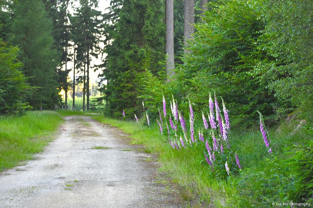 Waldweg - fingerhut.jpg