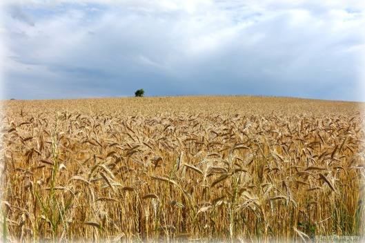 fields of gold.jpg