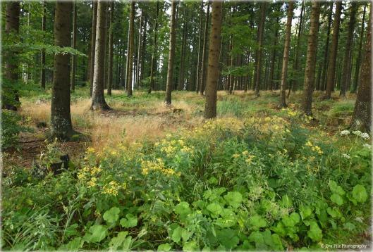 blühender Wald.jpg