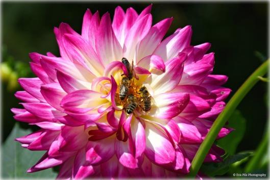 Dahlie mit Bienen.jpg