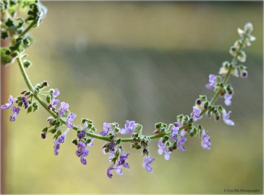 Rosenweihrauch - Blüte.jpg