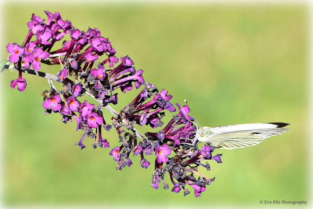 Schmetterling auf Sommerfl.